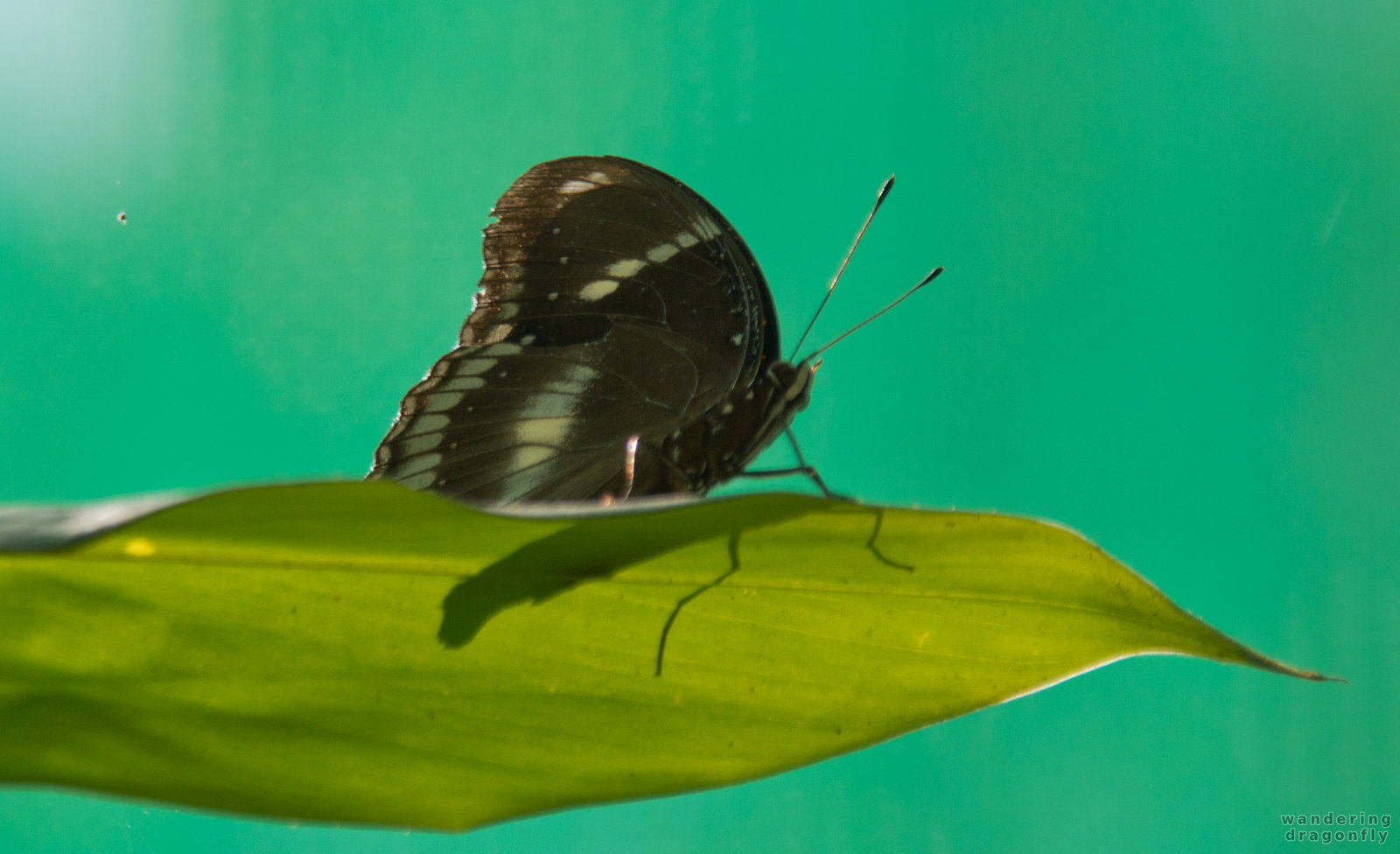 Butterfly sunbath -- black butterfly, butterfly, leaf