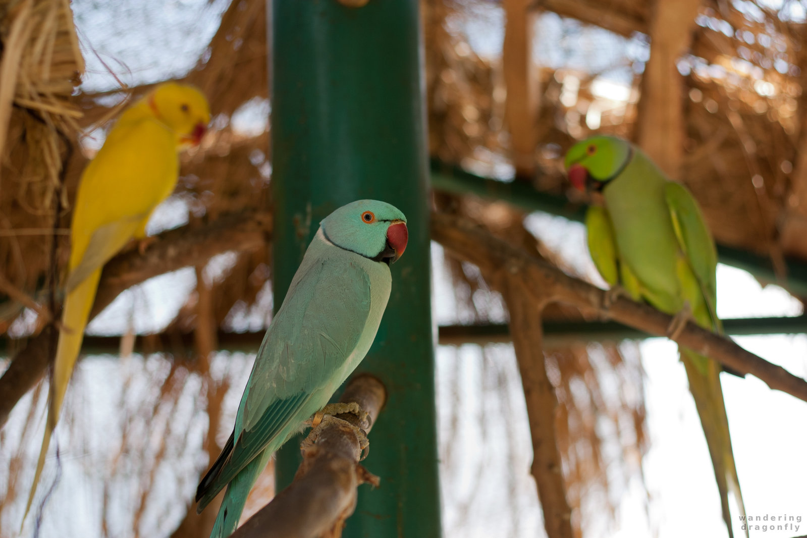 Three parrots -- cyan parrot, green parrot, yellow parrot