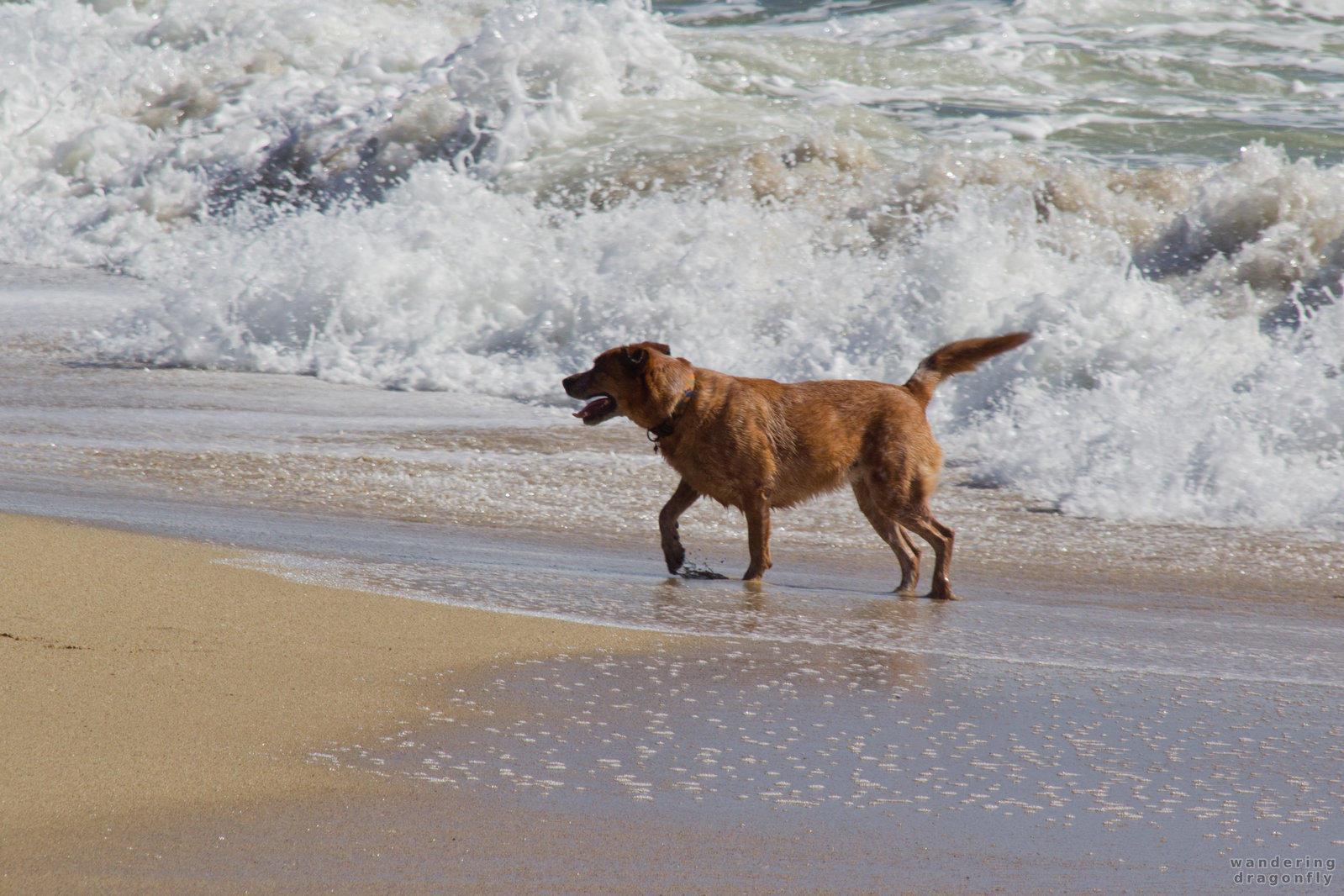 Dog playing in the water -- beach, dog, ocean, playing