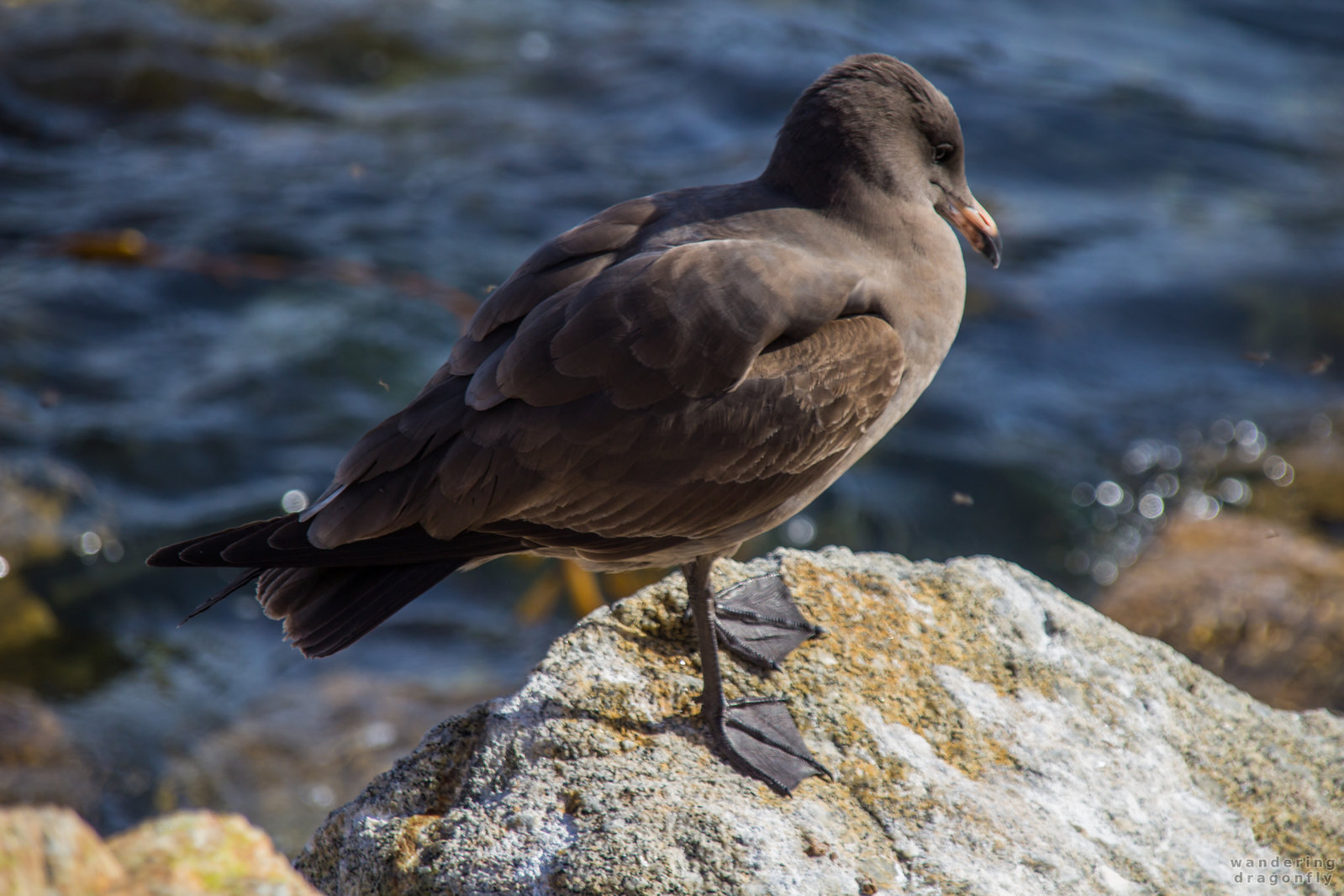 The shy -- bird, cliff, gull, ocean, rock, water