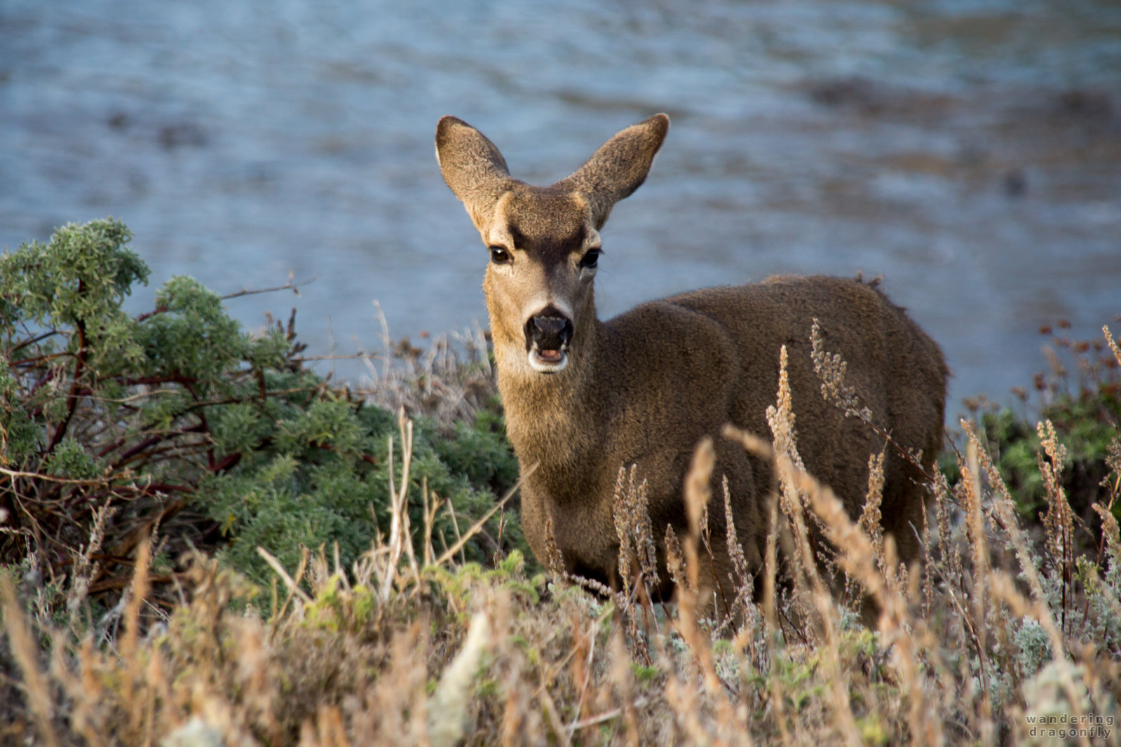Munching -- animal, deer, grass, ocean, shore, water