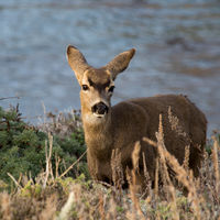 Black-tailed Mule Deer