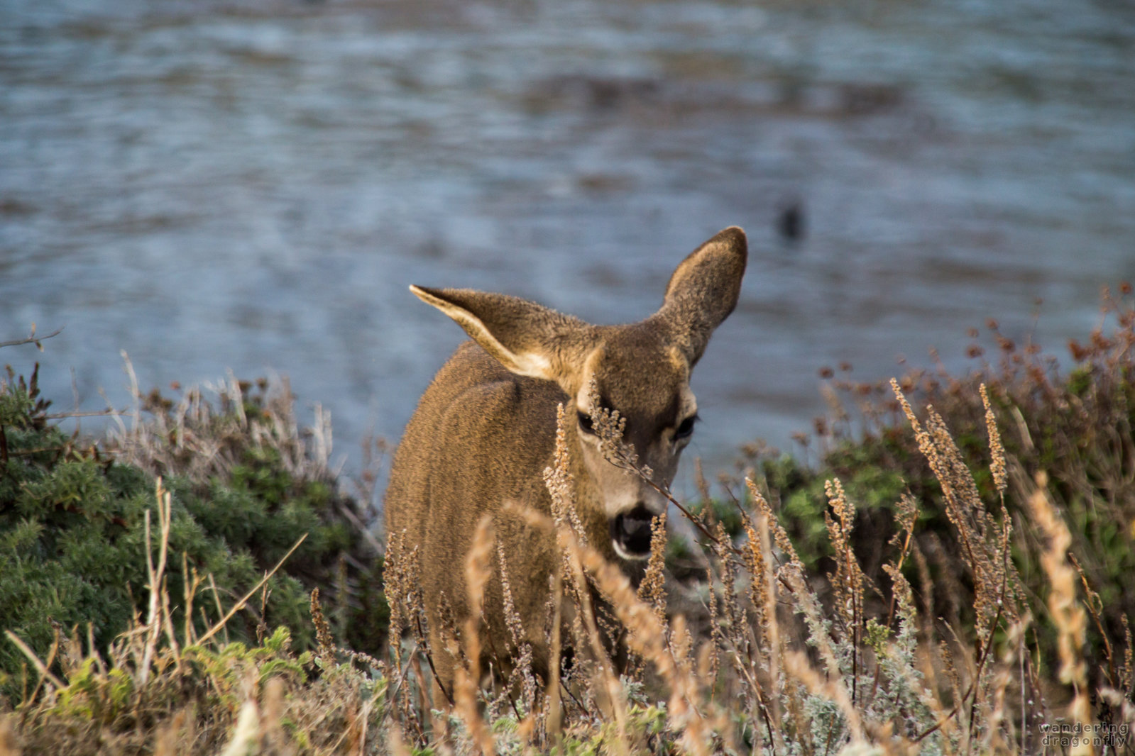 Drooped ear -- animal, deer, grass, ocean, shore, water